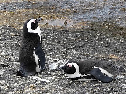 Pingouins - Près de Boulders Beach