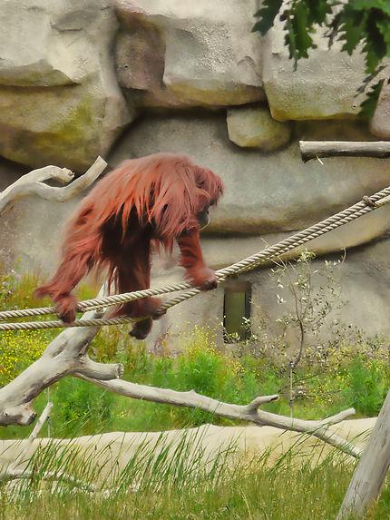 Un orang-outan au zoo de la Palmyre