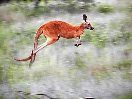 Kangourou roux sauvage