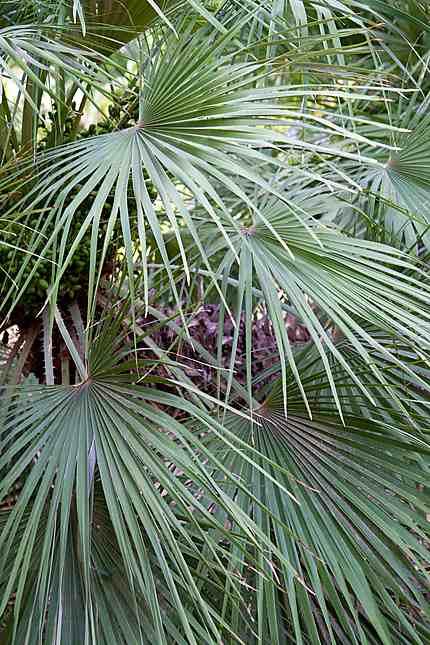 Biskra - Jardin Landon - Chamaerops humilis