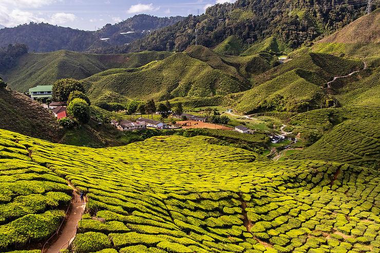 Malaisie : les Cameron Highlands, entre thé et randonnée