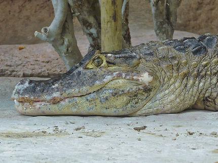 Un crocodile au zoo de la Palmyre