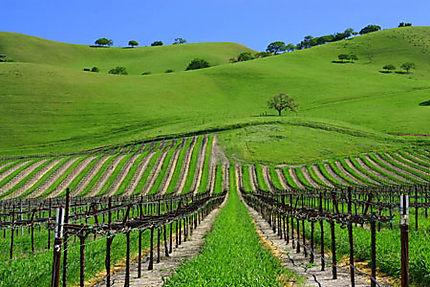 Vignes californiennes
