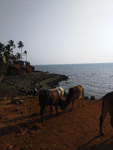 Sacrées vaches