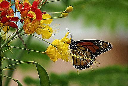 Hibiscus et Papillon...