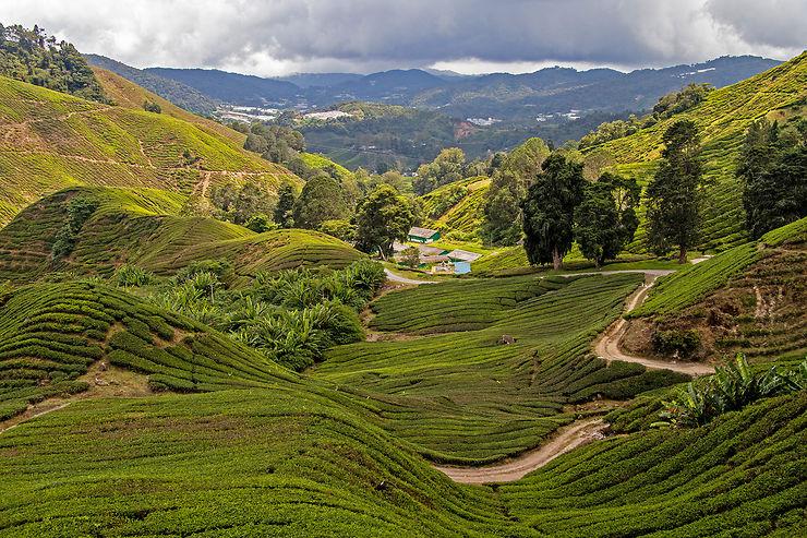 Cameron Highlands : le thé et ses plantations panoramiques
