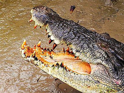 La dentition du crocodile