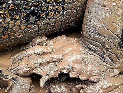 Gros plan sur la patte du crocodile