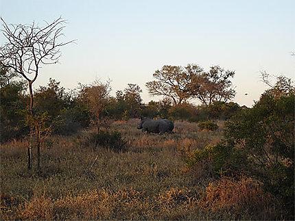 Rhinocéros à l'aube