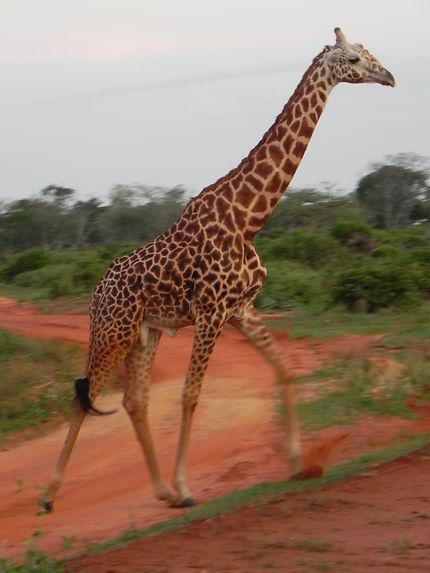Une girafe traverse la route