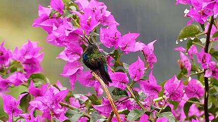 Colibri sous la pluie