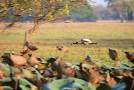 Ibis en approche