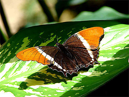 "Papillon qui ""bronze"""