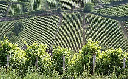 Les vignes autour de Meursault