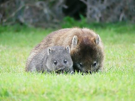 Wombats au camping de Kelso