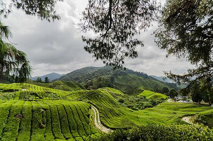 Les montagnes du thé