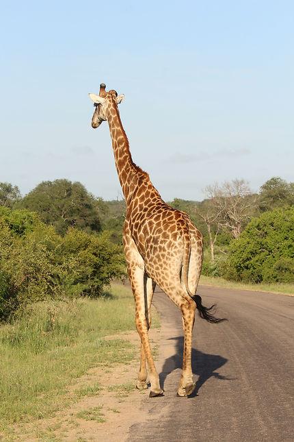 Vie sauvage dans le Parc Kruger, réserve naturelle