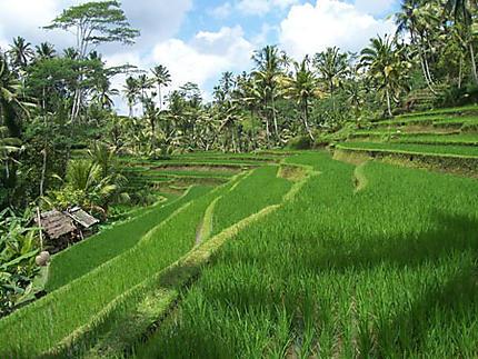 Le riz - terrasse -