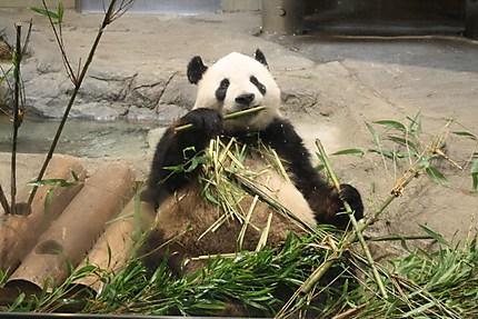 Panda au déjeuner