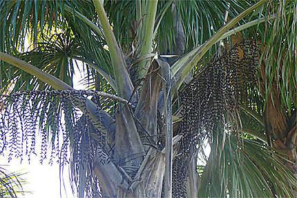 Le support des fruits du palmier bache