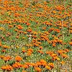 Milliers de fleurs marguerites oranges !!!