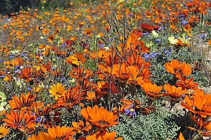 Milliers de fleurs marguerites colorées...