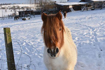 Un poney dans la neige à Battice