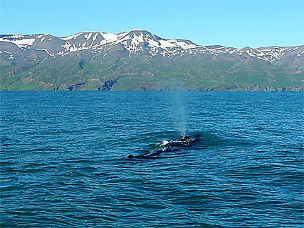 Baleine au large d'Húsavík
