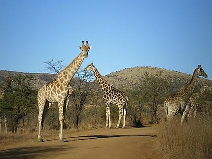 Girafes au Parc Pilanesberg