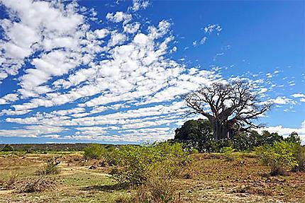 Baobab d'Ampanihy
