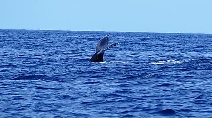 Baleine au large du Carbet