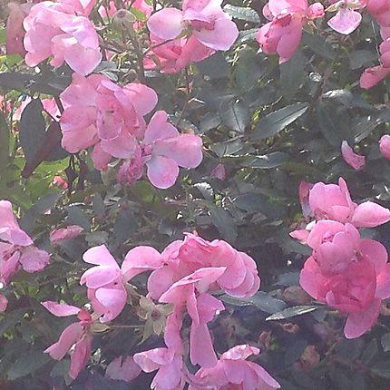 Roses d'automne