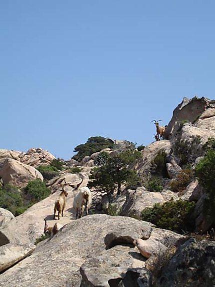 Chèvres sardes