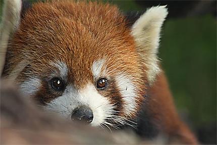 Panda roux