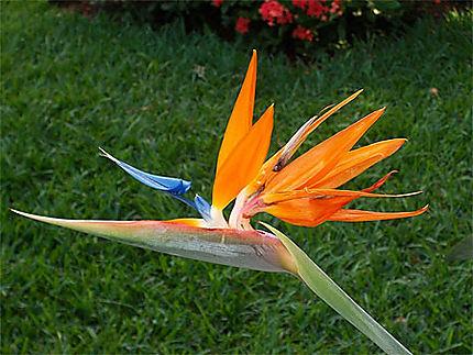 Oiseau De Paradis Fleurs Grand Baie Et Le Nord Ile Maurice