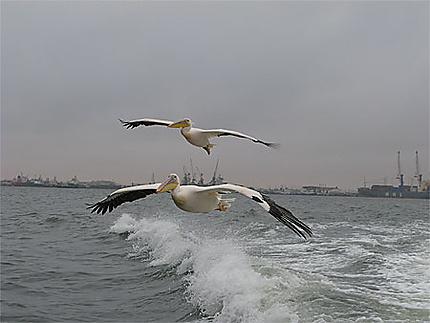 Pélicans à Walvis Bay
