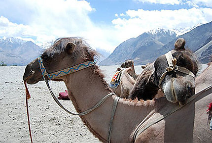 Camel in love
