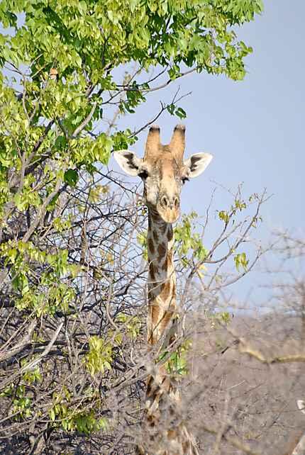 Girafe à Etosha