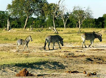 Bande de zèbres parc Hwange