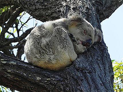 Koala sauvage