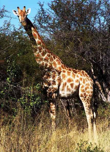 Girafe dans le parc Hwange