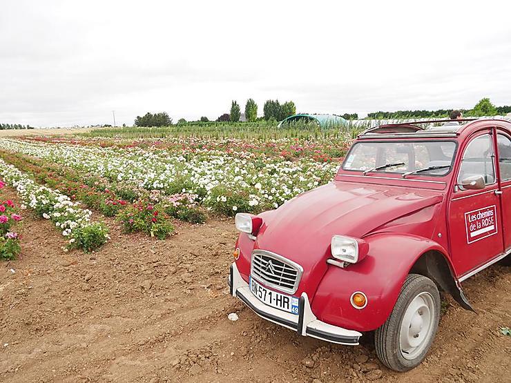 Les champs de rose en deudeuche