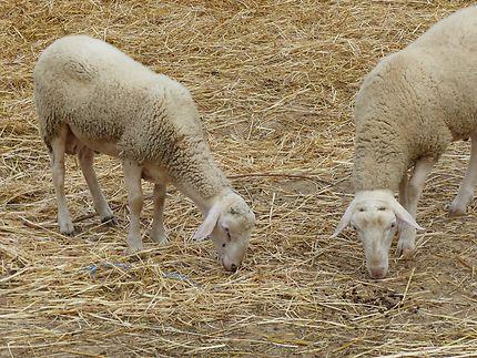 1 mouton, 2 moutons etc...