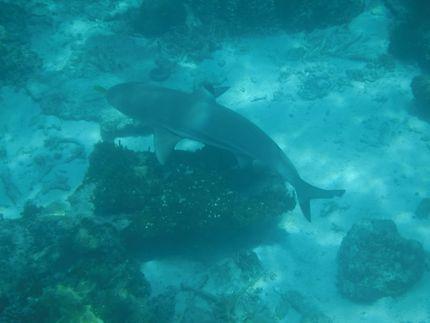 Requin pointe noire à Besar, Malaisie