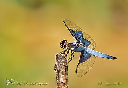 Odonata - Palpopleura vestita male