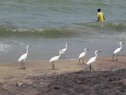 Valse de hérons sur la plage de Negombo