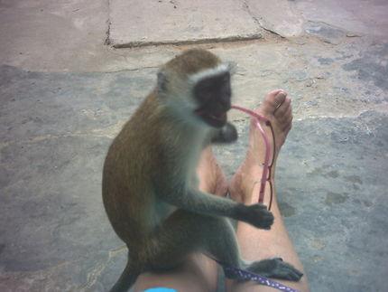 Petit singe curieux à Zanzibar