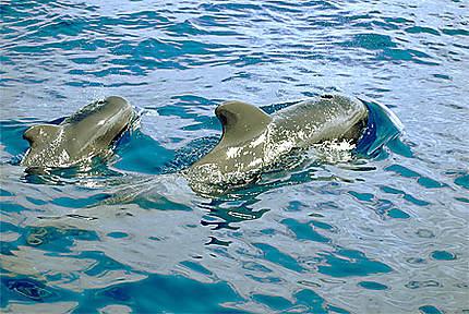 Baleine Globicéphale