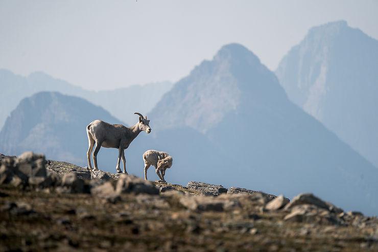 Mouflons, Parc national de Glacier, Montana