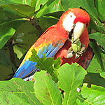 Ara rouge à Playa Sirena